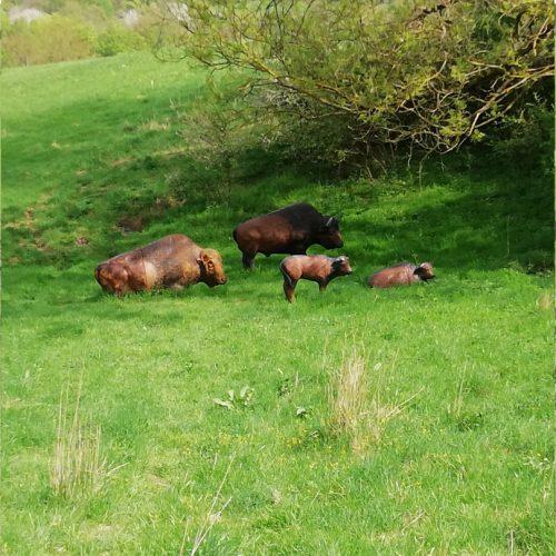 Scheibe 5 Büffel